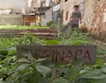 urban gardening video link; thumb of vegetable garden in Havana