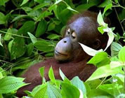 orangutan relaxing amongst lush rainforest vegetation; click to go to video page at external site; opens in new window